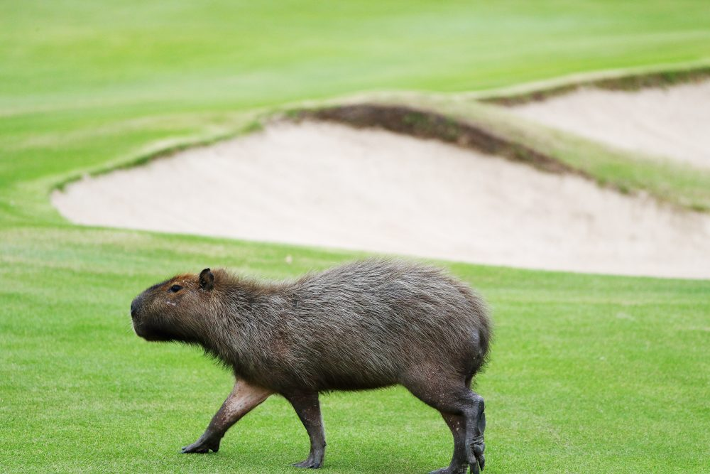 Apparently, golfers in Rio this Olympics will have to watch out for capybaras. (Scott Halleran/Getty Images)