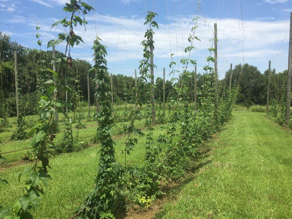 Hops growing in a field in around Louisville, Kentucky. (Roxanne Scott/WFPL)