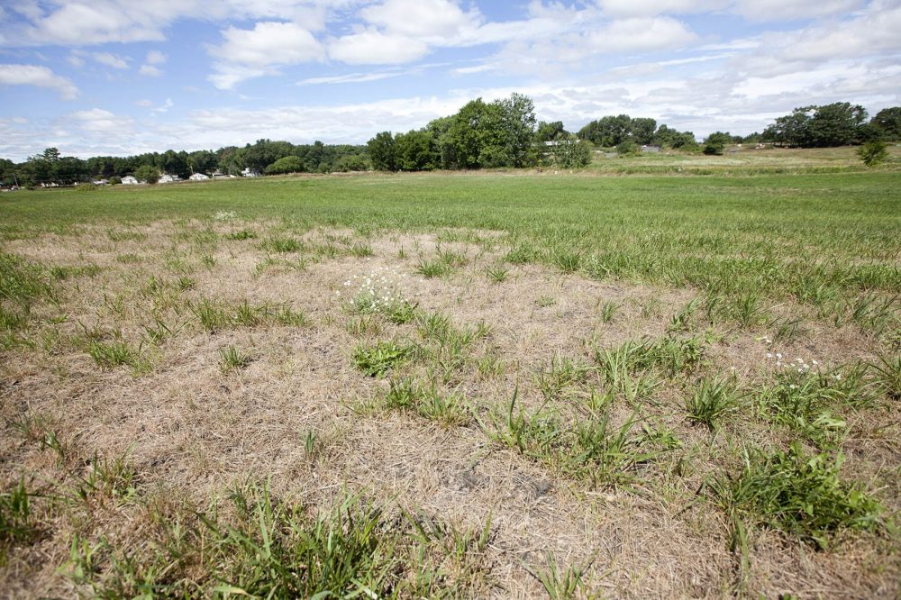 Drought-affected fields at Shaw Farm in Dracut, Massachusetts. (Joe Difazio for WBUR)