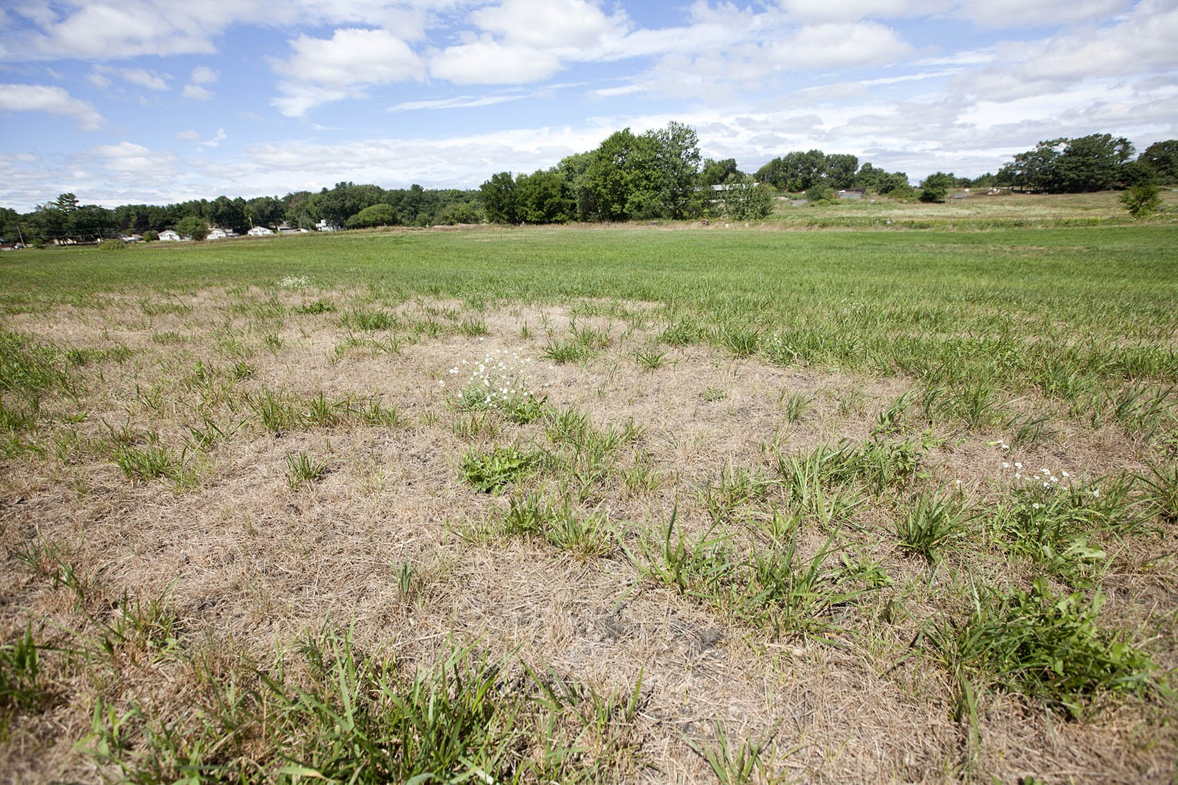 Drought-affected fields at Shaw Farm in Dracut, Massachusetts. (Joe Difazio for WBUR)