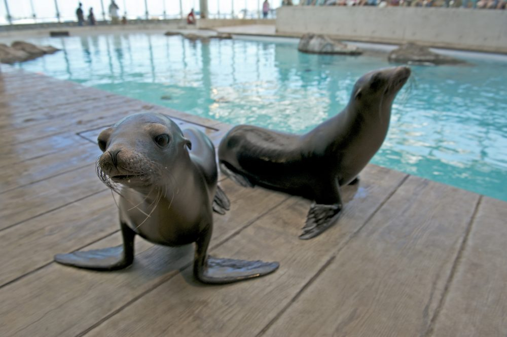 The New England Aquarium welcomed two California sea lion pups, Zoe and Sierra, in August 2011. (K. Ellenbogen/New England Aquarium)