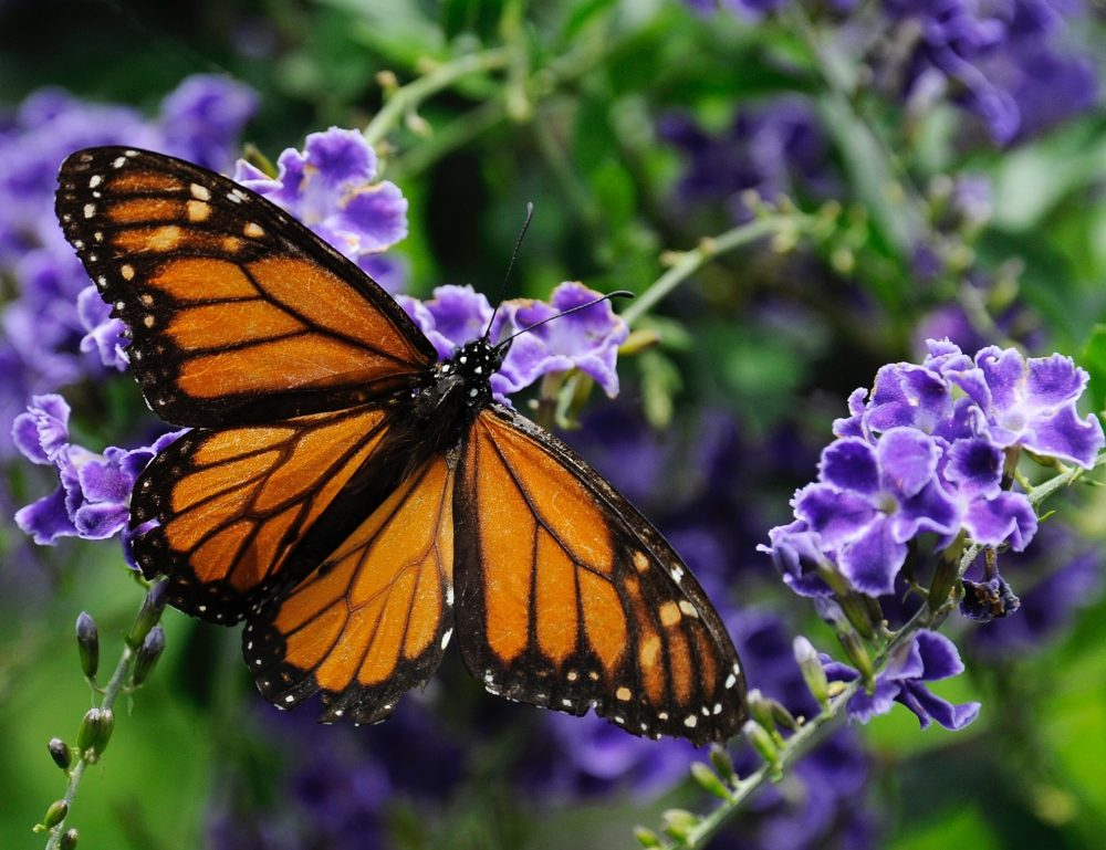 A monarch butterfly lands on a confetti lantana plant. (Pat Sullivan/AP)
