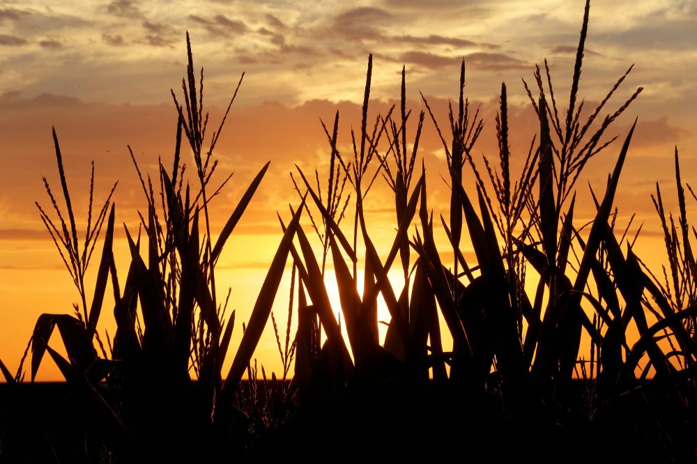 Corn stalks are silhouetted by a setting sun Friday, July 22, 2016, in Pleasant Plains, Illinois, as the temperature hovers around 100 degrees. (Seth Perlman/AP)