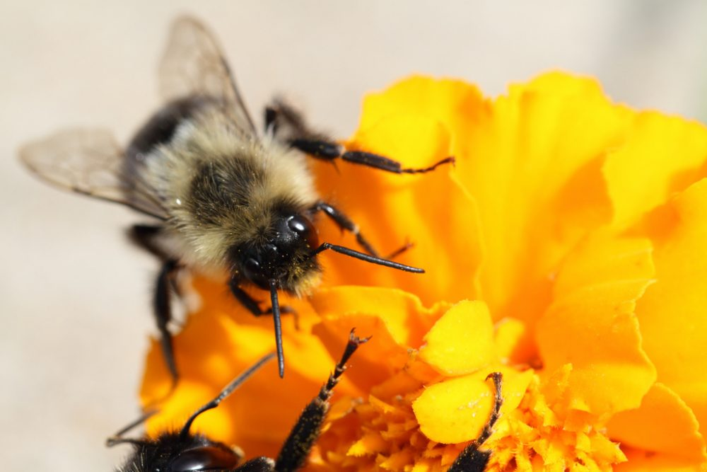 A bee lands on a marigold. (JDBaskin/Flickr)
