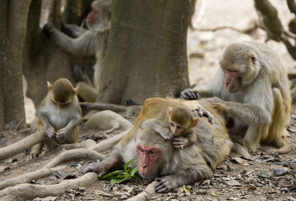 A group of rhesus macaque monkeys groom one another on Cayo Santiago, known as Monkey Island off the eastern coast of Puerto Rico. Today, researchers at Beth Israel Deaconess Medical Center announced very promising results after testing three Zika vaccine candidates on rhesus monkeys. (AP Photo/Brennan Linsley)