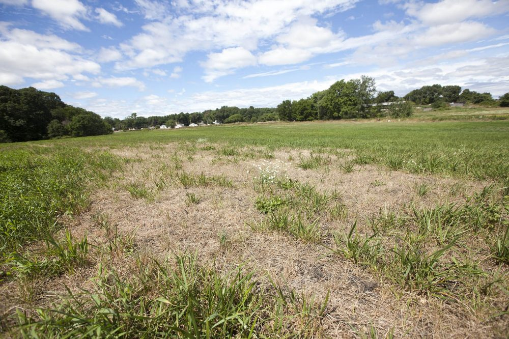 Drought-affected fields at Shaw Farm in Dracut. The dairy farm has felt the effects of the severe drought that has plagued parts of Massachusetts this summer. (Joe Difazio for WBUR)