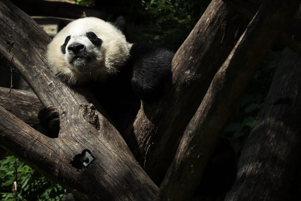 Giant panda cub Bei Bei props himself up on logs at the Smithsonian National Zoological Park on Aug. 22, 2016 in Washington D.C. (Alex Wong/Getty Images)