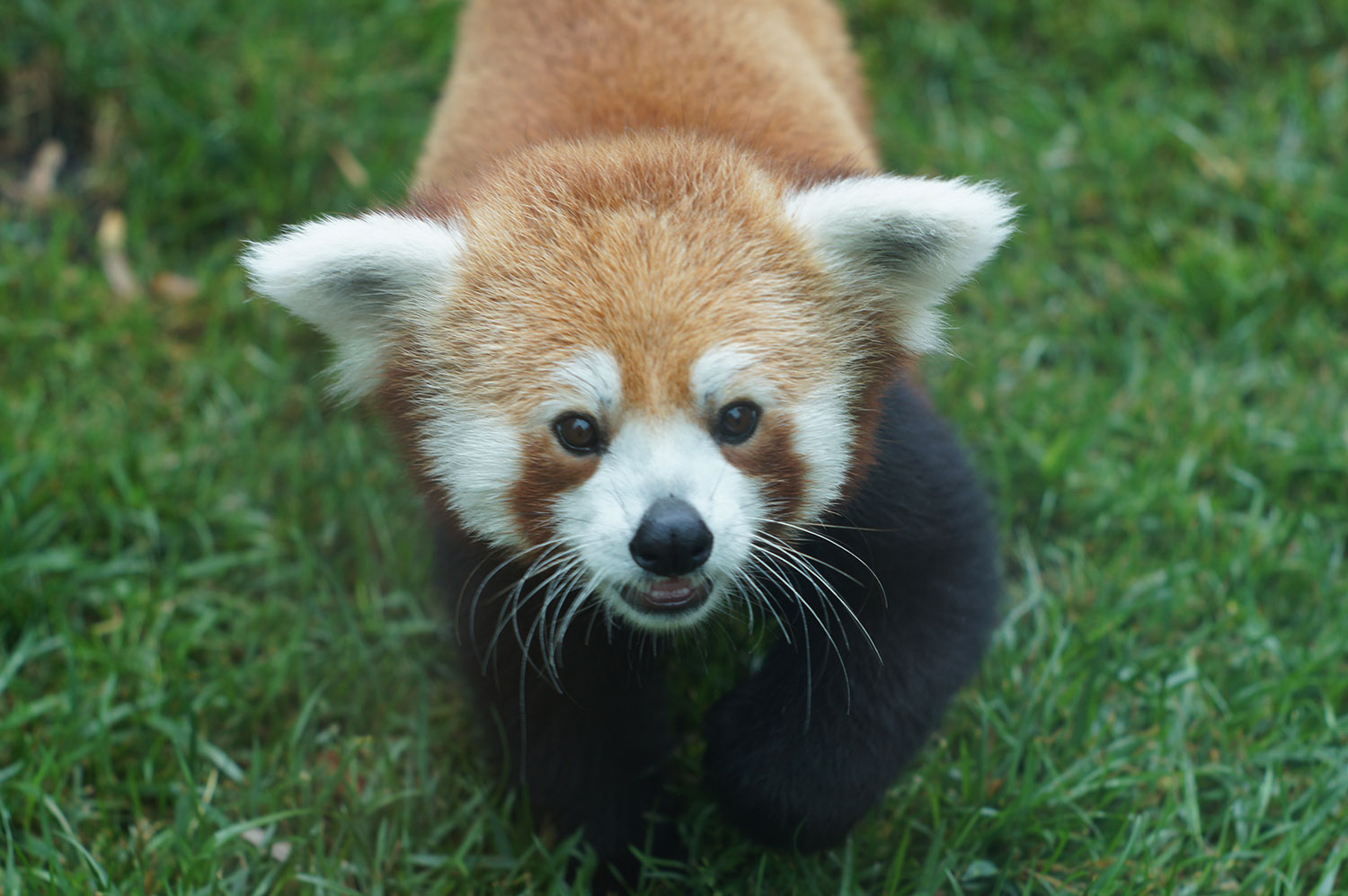Red panda at the Franklin Park Zoo's new children's zoo. (Courtesy Zoo New England / Sarah Woodruff)