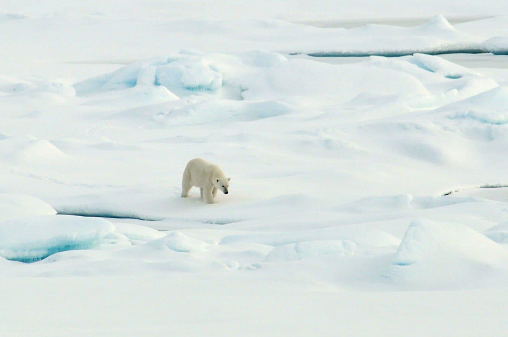 A polar bear walks on the Arctic Ocean ice on Aug. 21, 2009. (Patrick Kelley/U.S. Coast Guard/U.S. Geological Survey via Flickr)