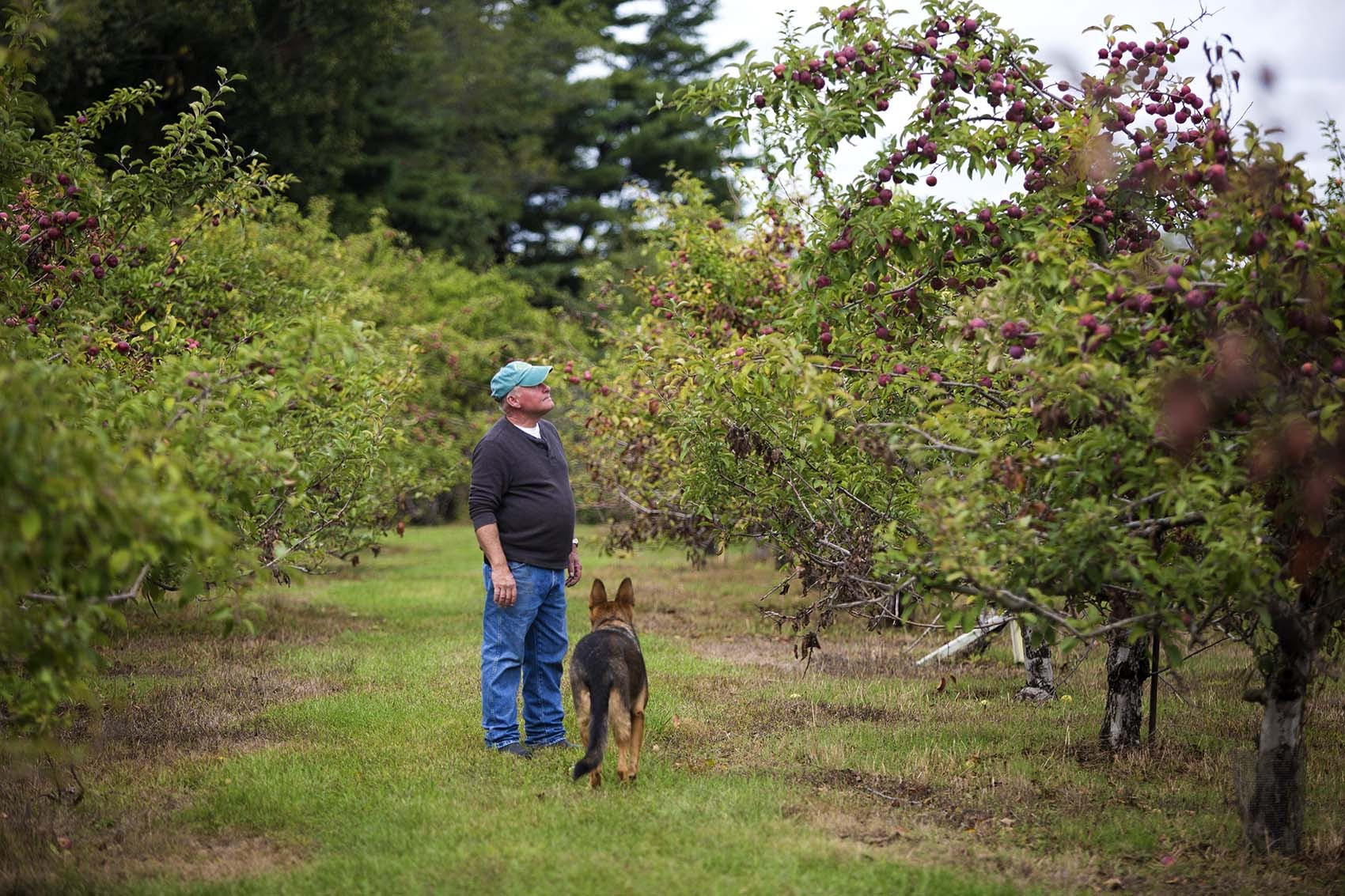 With his dog Nala, Dartmouth Orchards owner Brian Medeiros examines the apple trees affected by this summer's drought. (Jesse Costa/WBUR)