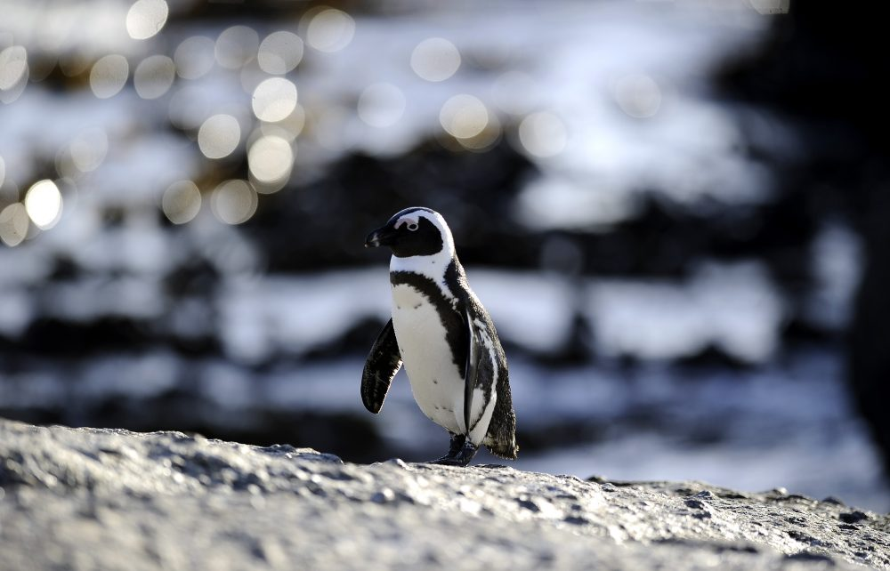 An African penguin is pictured on March 16, 2011, in Simon's Town near Cape Town, South Africa. (Stephane de Sakutin/AFP/Getty Images)