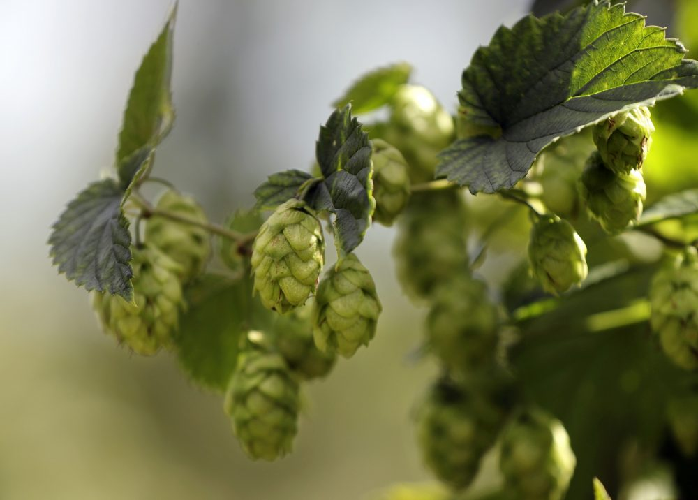 Hops are used in brewing beer to give the beverage its bitter flavor. (Robert F. Bukaty/AP)