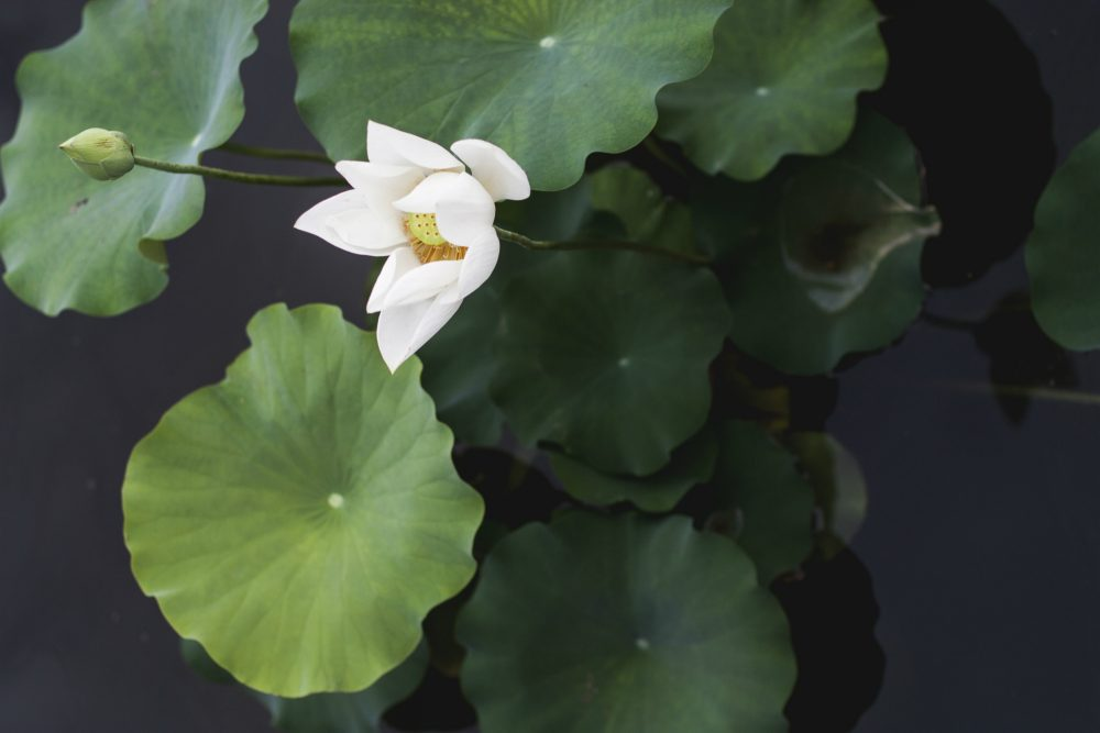 """As children,"" Julie Wittes Schlack writes, ""we were taught to associate water lilies with polio. Now they signal a different kind of danger."" (Kari Shea)"