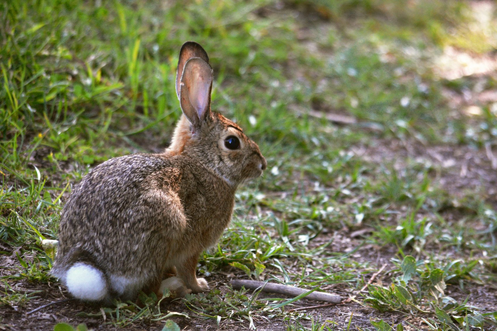 A cottontail rabbit sits in nature. (Eric Sonstroem/Flickr)