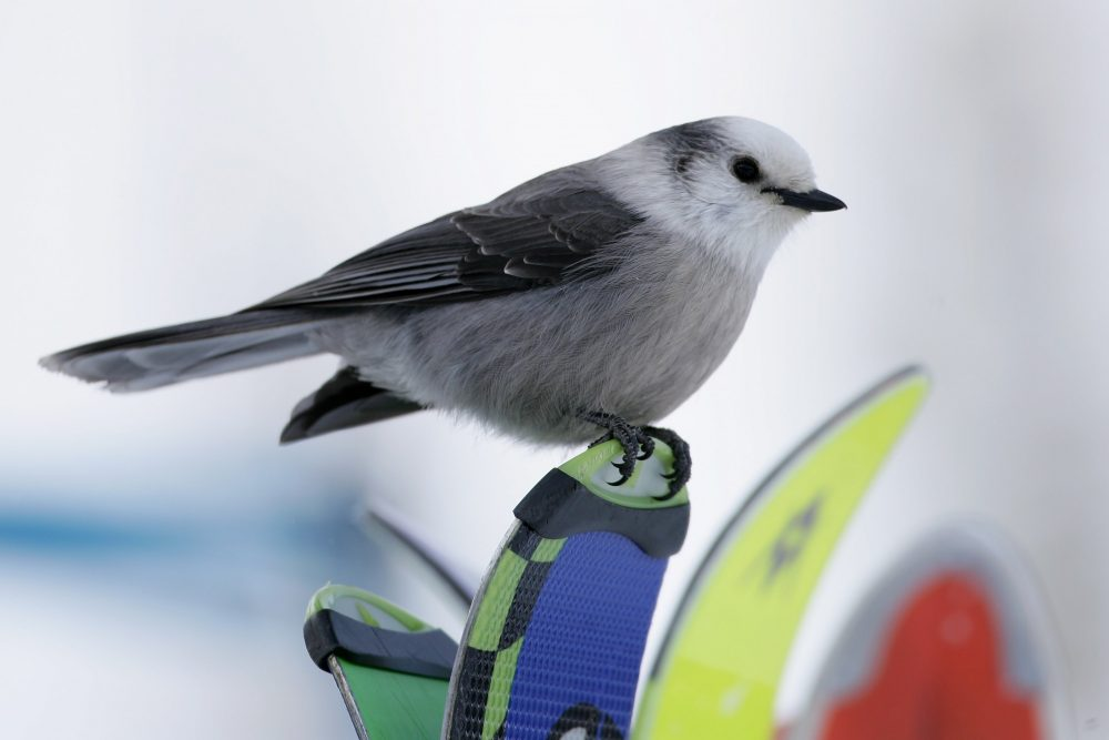 A gray jay sits on the tips of skis in Avon, Colo., in December 2006. (Doug Pensinger/Getty Images)