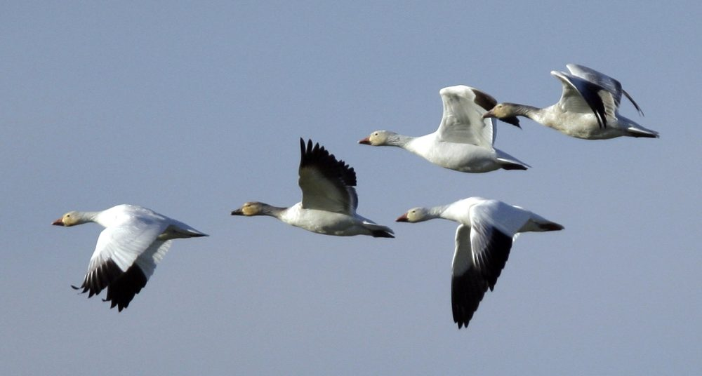 Snow geese head toward a farm field Conway, Wash., in 2009. (Elaine Thompson/AP)