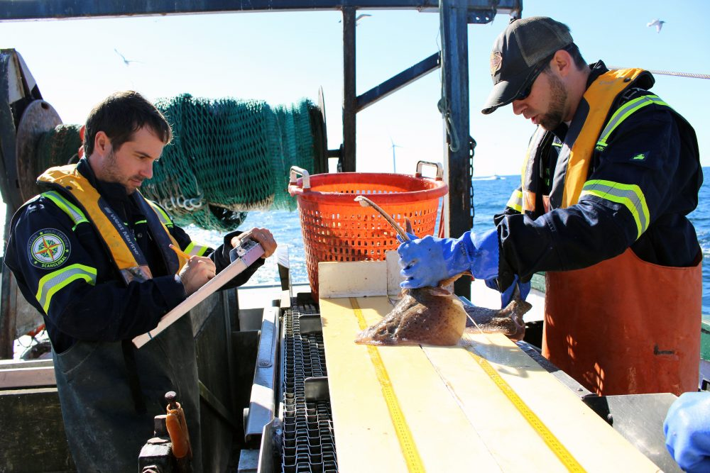 Matthew Griffin and Brian Jenkins measure and weigh all fish species caught for research on the Block Island Wind Farm's potential impacts to fish. (Ambar Espinoza/Rhode Island Public Radio)
