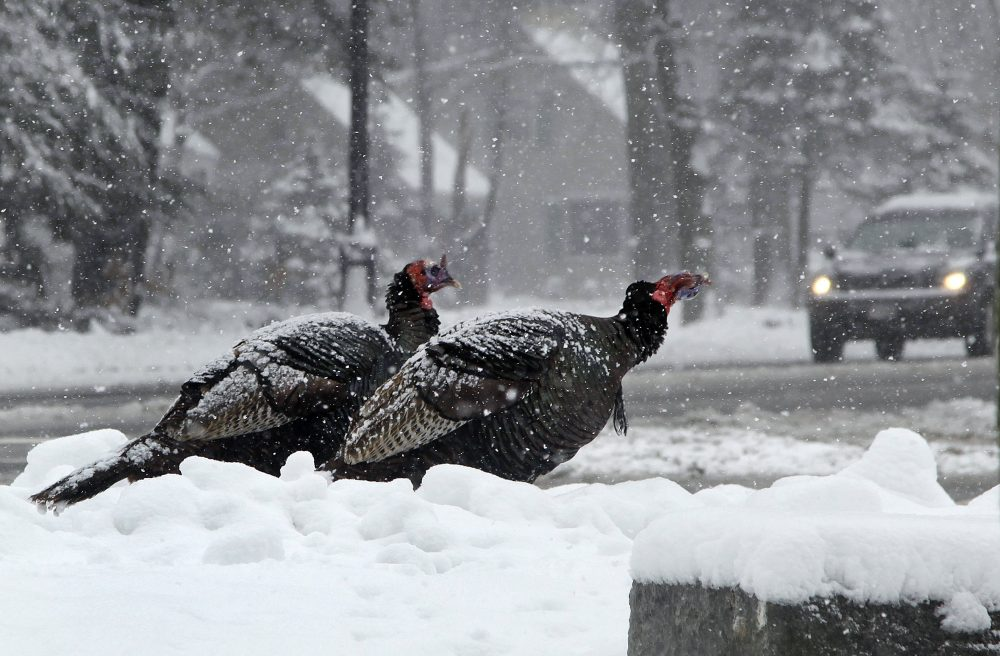 Two wild turkeys near an intersection during a 2012 snowstorm in North Andover, Mass. (AP/Elise Amendola)