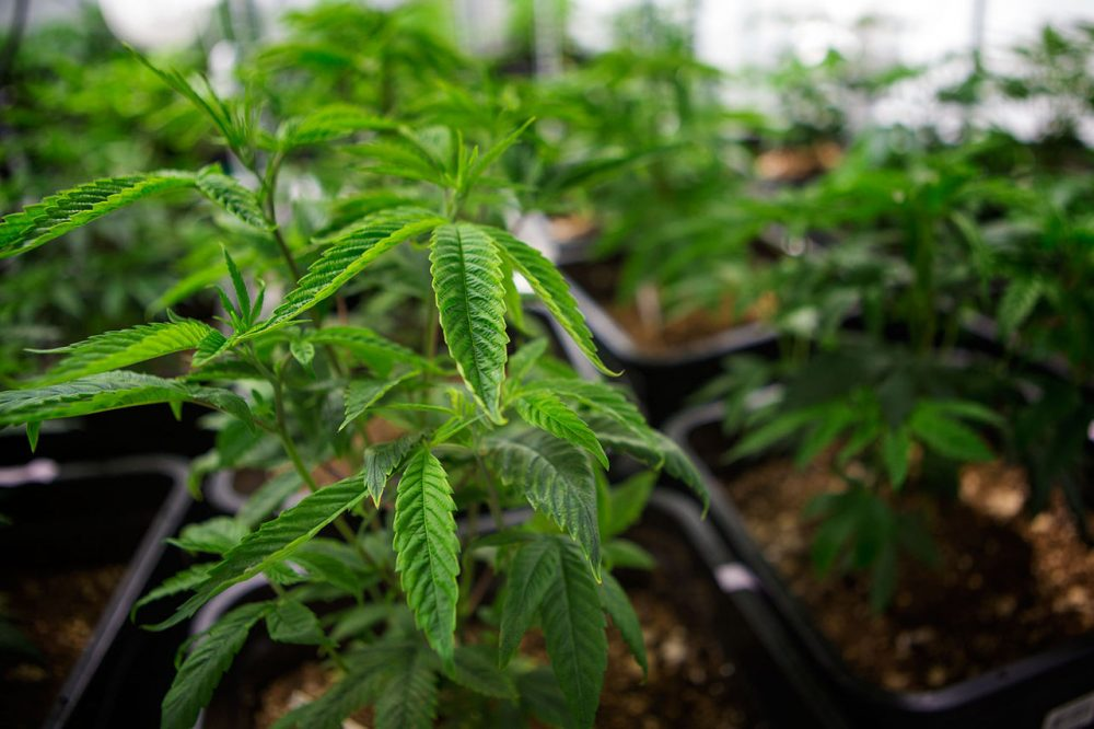 Massachusetts's recreational marijuana law is scheduled to take effect on 12/15. It'll be legal to use it and grow pot plants at home — but retail licenses for selling won't be available. (Jesse Costa/WBUR)