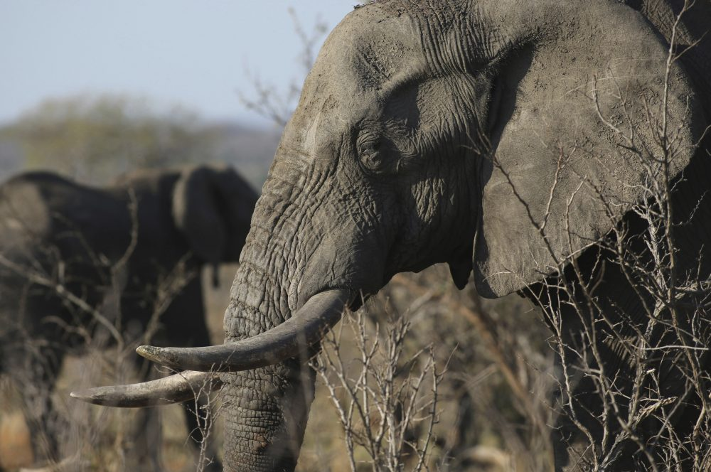 China To Shut Down Ivory Trade, But Will That Save Elephants