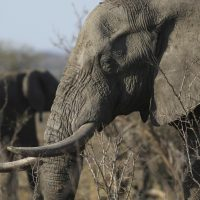 In this file photo taken Friday, Sept. 30, 2016, an elephant walks through the bush at the Southern African Wildlife College on the edge of Kruger National Park in South Africa. The Chinese government said in a statement released on Friday Dec. 30, 2016, it will shut down its official ivory trade at the end of 2017 in a move designed to curb the mass slaughter of African elephants.(Denis Farrell/AP)