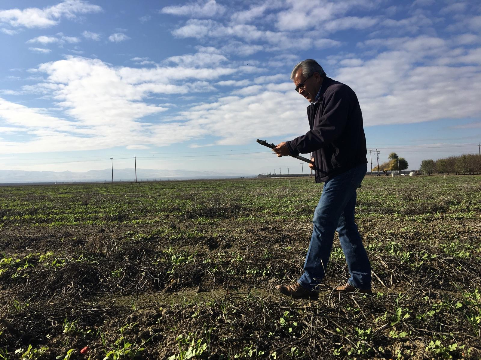Jesse Sanhez uses cover crops among other techniques to keep the soil on his farm healthy. (Ezra David Romero/Valley Public Radio)
