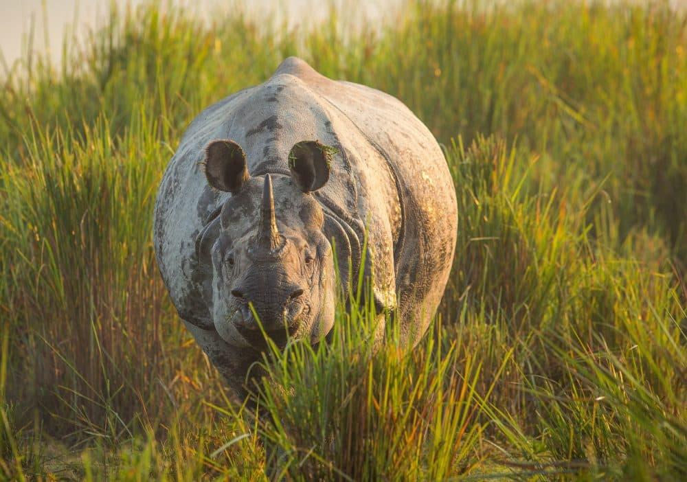 A one-horned Asian rhino emerges from the tall grass of Kaziranga National Park, northeast India. (Courtesy ChaddenHunter/BBC America)