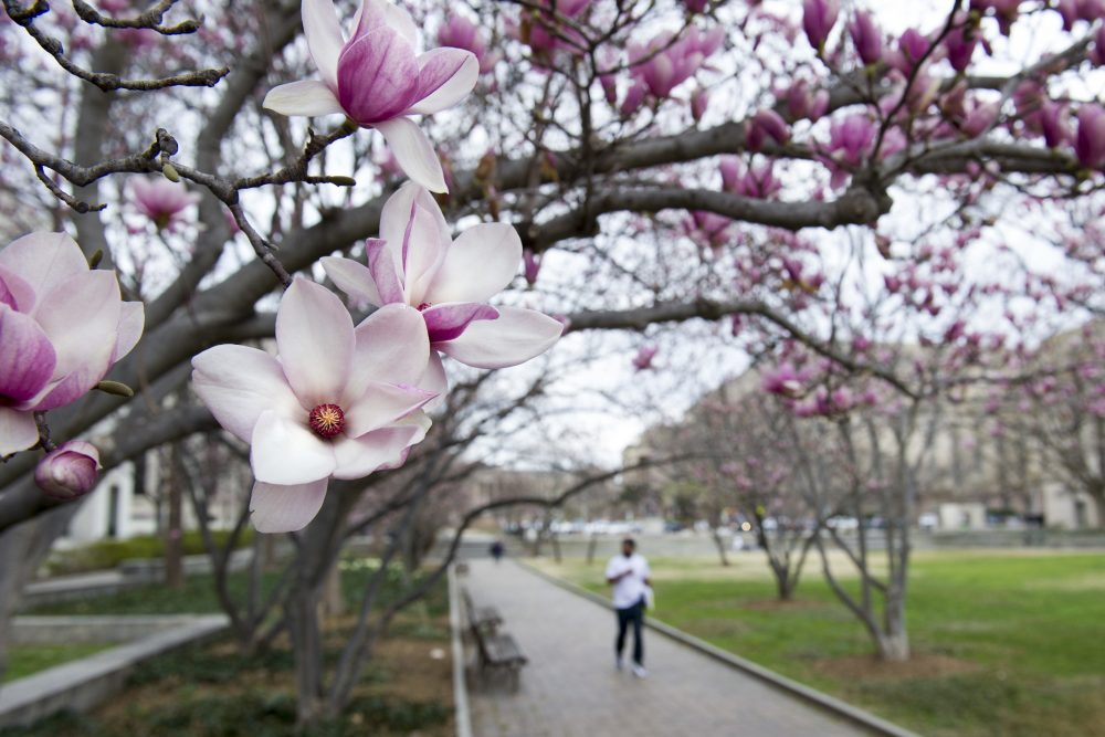 Tulip Magnolia trees bloom in Washington, Tuesday, Feb. 28, 2017. Crocuses, cherry trees and magnolia trees are blooming several weeks early because of an unusually warm February. (Cliff Owen/AP)