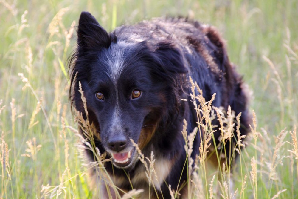 Anya, a border collie-Australian shepherd mix who went missing in Chandler, Ariz., in January 2017. (Courtesy Where Is Anya? via Facebook)