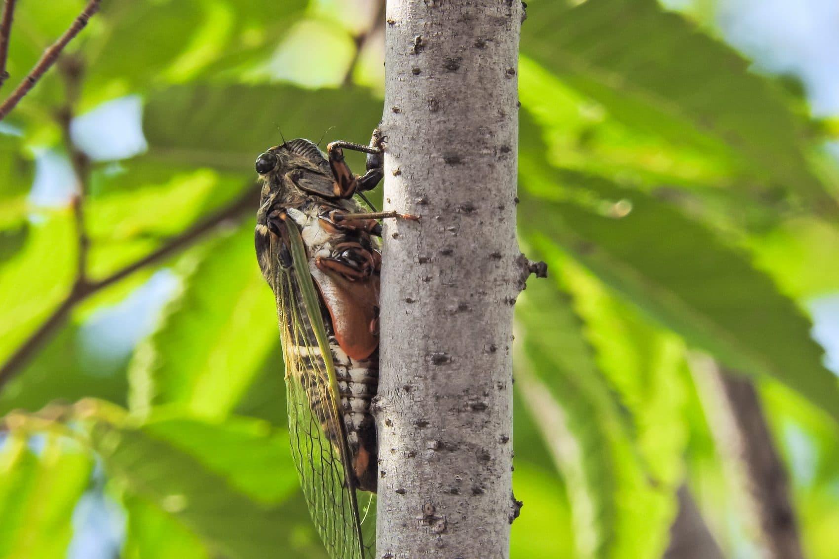 A cicada (Jin Kemoole/Flickr)