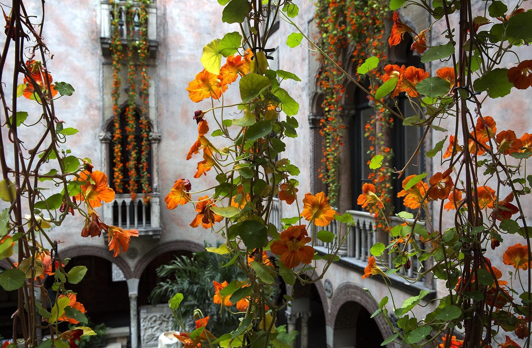 Nasturtiums hang in the courtyard at the Isabella Stewart Gardner Museum. (Robin Lubbock/WBUR)