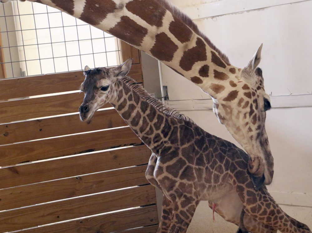 In this photo provided by Animal Adventure Park in Binghamton, N.Y., a giraffe named April licks her new calf on Saturday, April 15, 2017. Her birth was broadcast to an online audience with more than a million viewers. (Animal Adventure Park via AP)