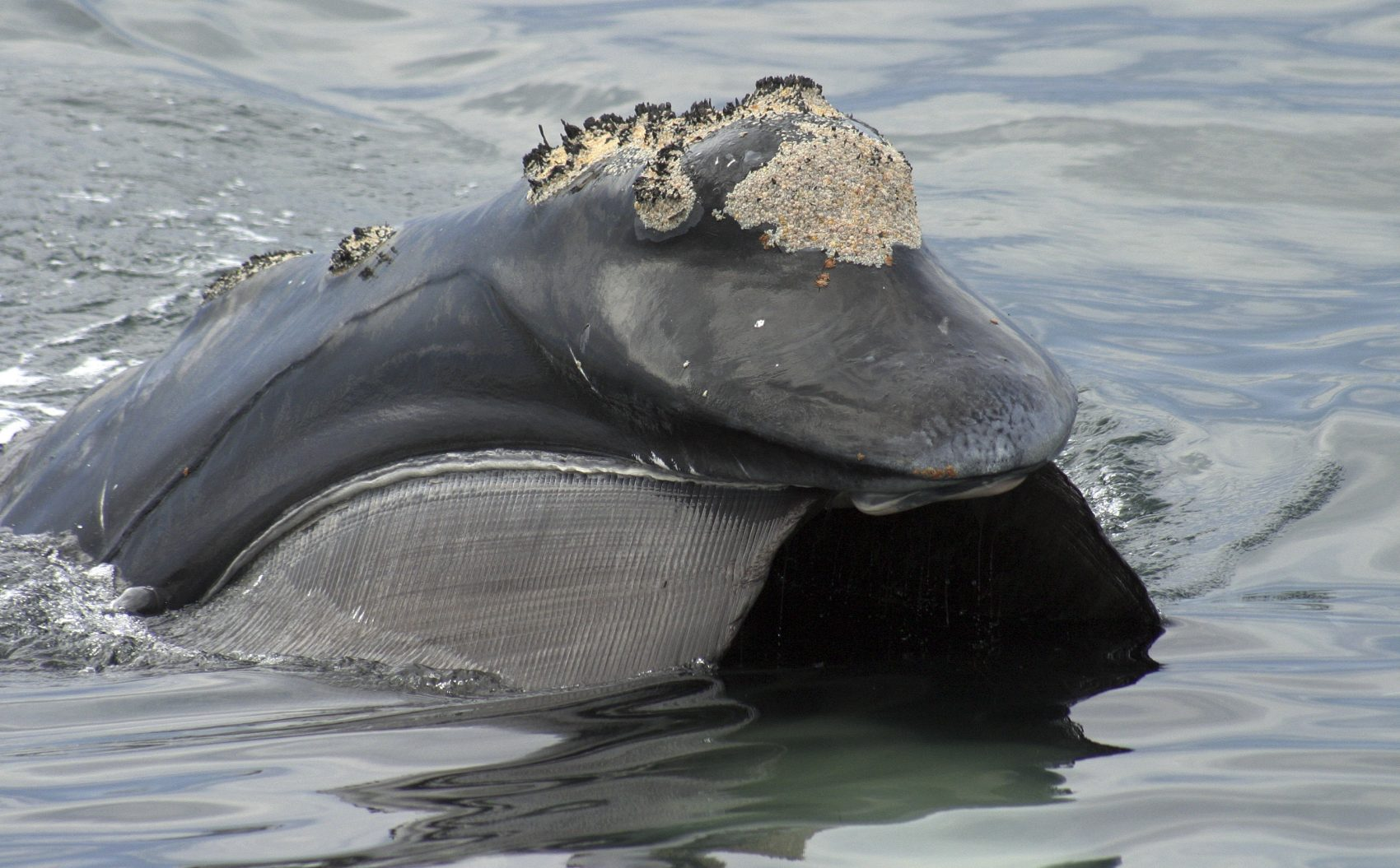"Charles ""Stormy"" Mayo from the Center for Coastal Studies suggests the global population of Atlantic right whales -- currently at 500 -- is slowly declining. (Center for Coastal Studies via AP)"