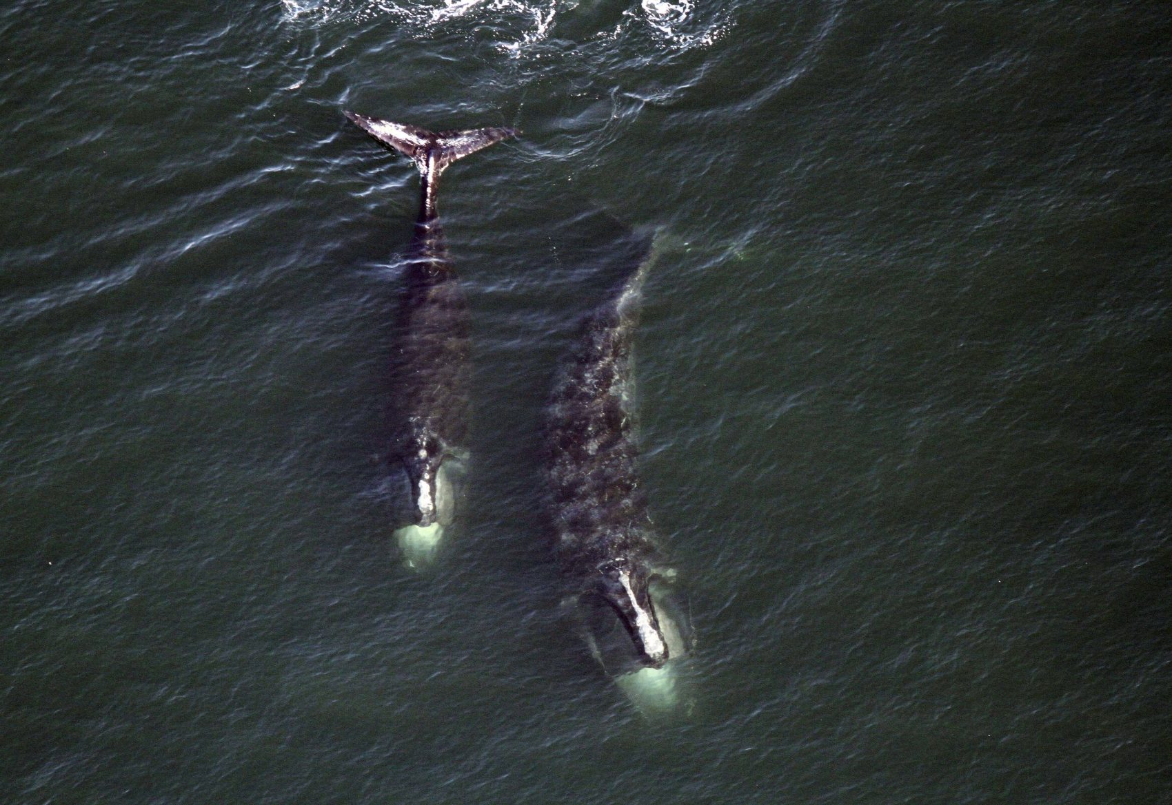 In this Feb. 14, 2017 photo, a pair of right whales feed just below the surface of Cape Cod Bay off shore from Provincetown. (Center for Coastal Studies via AP)