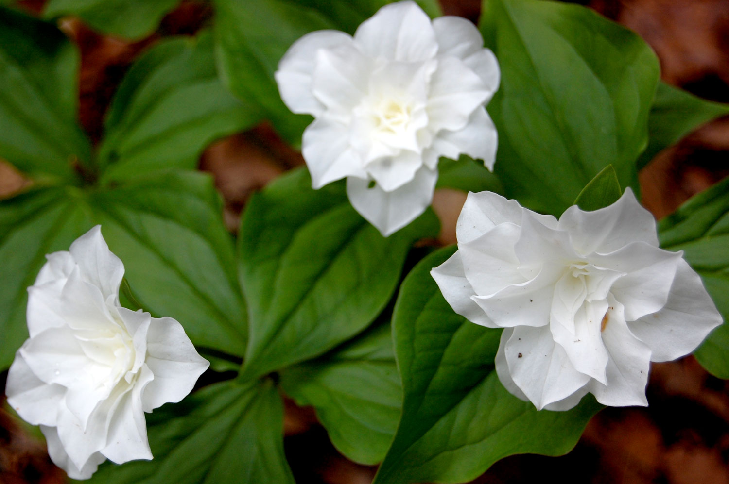 Double white trillium at Garden in the Woods. (Greg Cook/WBUR)