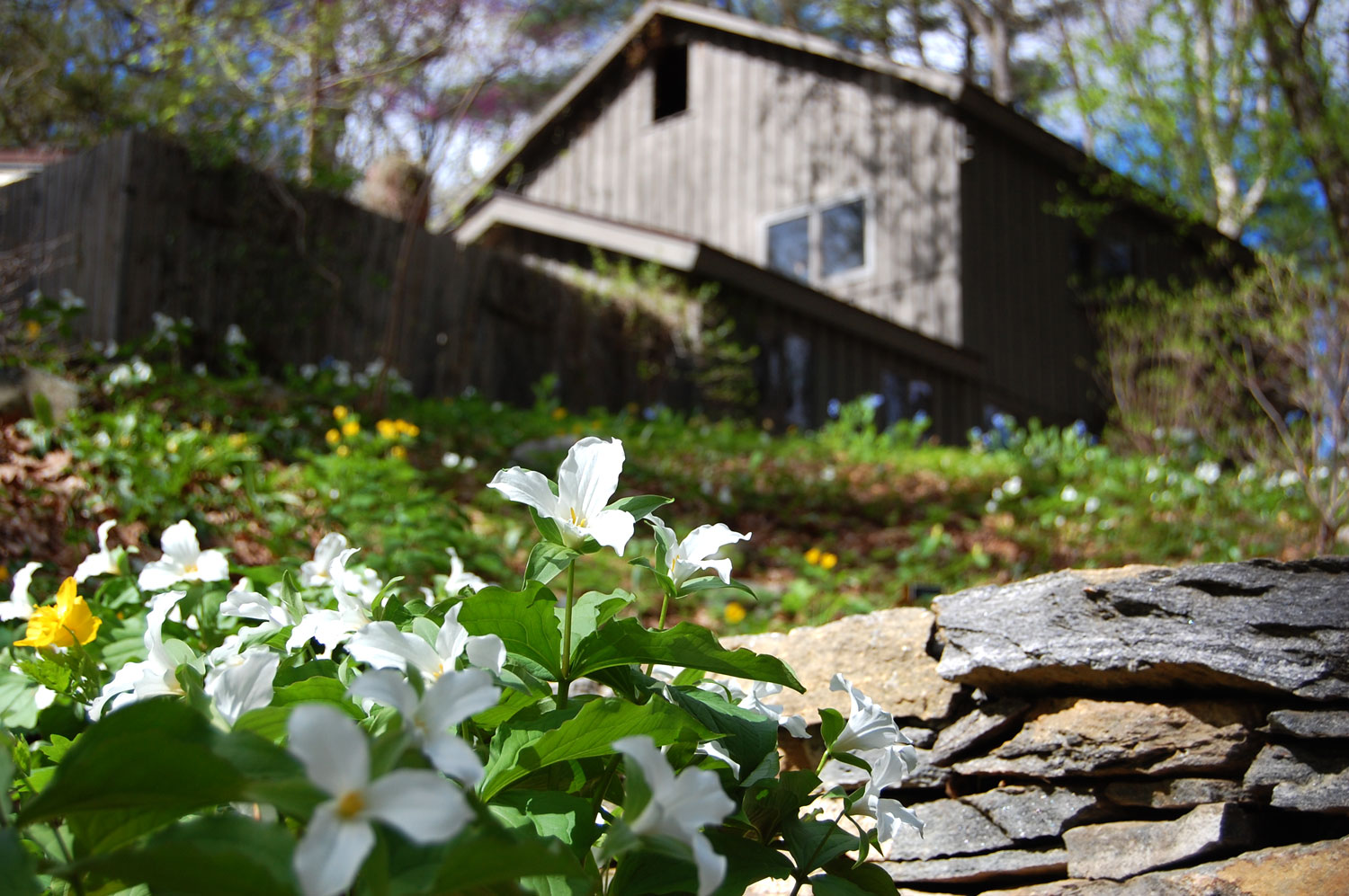 A hillside planted with wakerobin trillium with the cottage of Garden in the Woods founder Will Curtis at the top. (Greg Cook/WBUR)