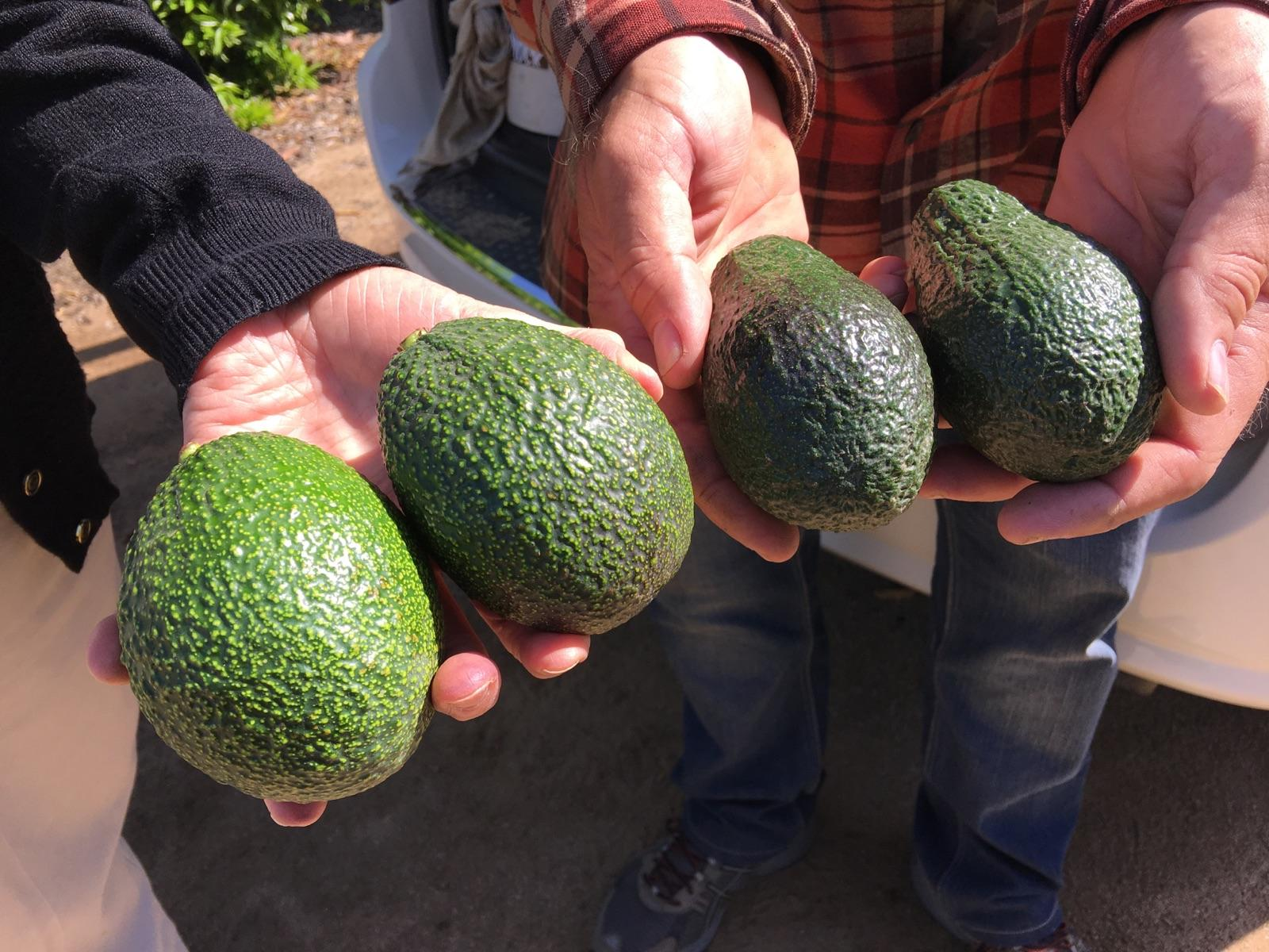 You Look Like An Avocado Quote: Bringing The Avocado To California's Central Valley