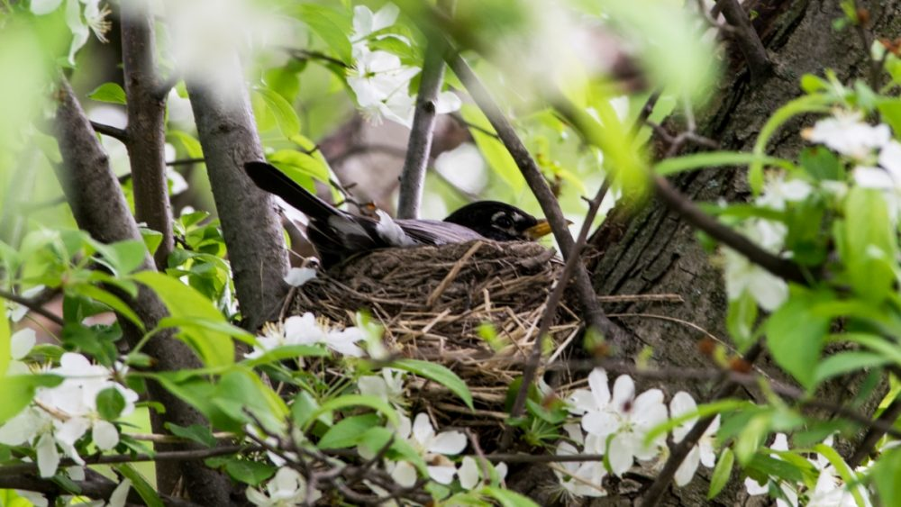 An American robin sits on her eggs in her nest. She has to be vigilant or a cowbird may try to put a parasitic egg in her nest. (Paige Pfleger/WHYY)