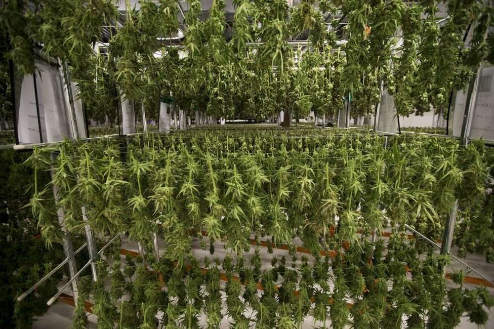Marijuana plants are harvested and hung in a processing facility in Franklin. (Jesse Costa/WBUR)
