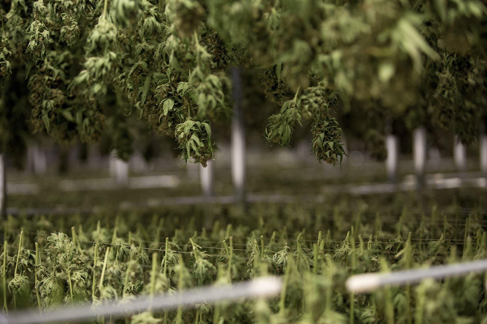 Harvested marijuana plants. (Jesse Costa/WBUR)