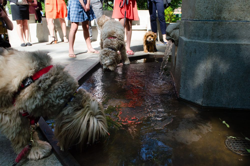 Dogs drink at the newly reopened Lotta Fountain on the Esplanade. (Elizabeth Gillis/WBUR)