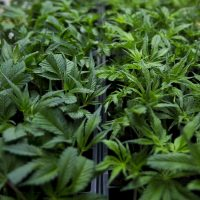 Marijuana seedlings in trays at the NETA cultivation center in Franklin. (Jesse Costa/WBUR)