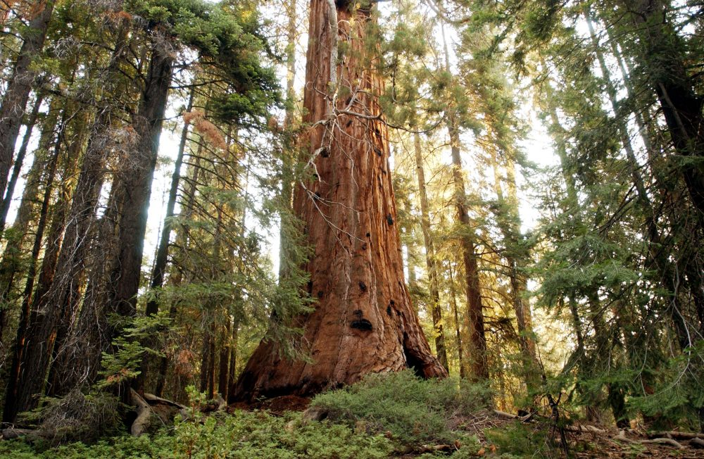 A giant sequoia tree in the Giant Sequoia National Monument north of Kernville, Calif. (David McNew/Getty Images)