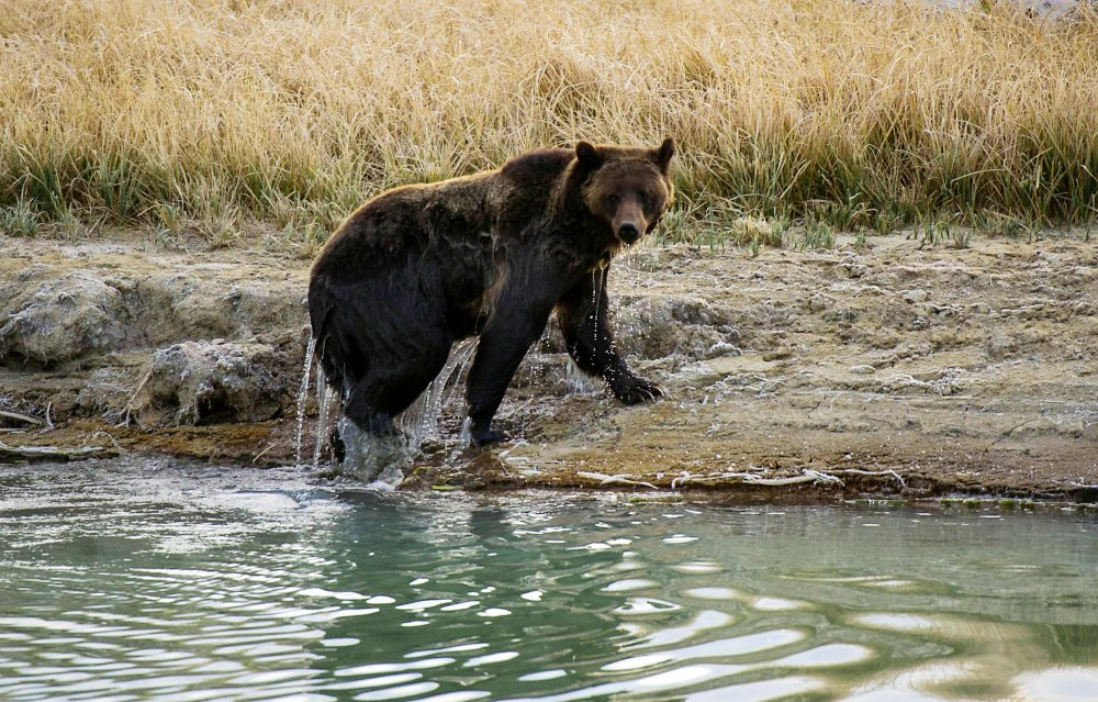 A Grizzly bear in Yellowstone National Park in Wyoming. (Karen Bleier/AFP/Getty Images)