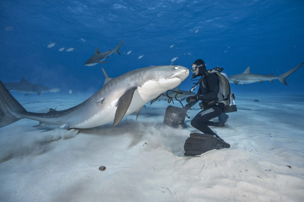 A diver interacts with a tiger shark at Tiger Beach in the Bahamas. (Brian Skerry)