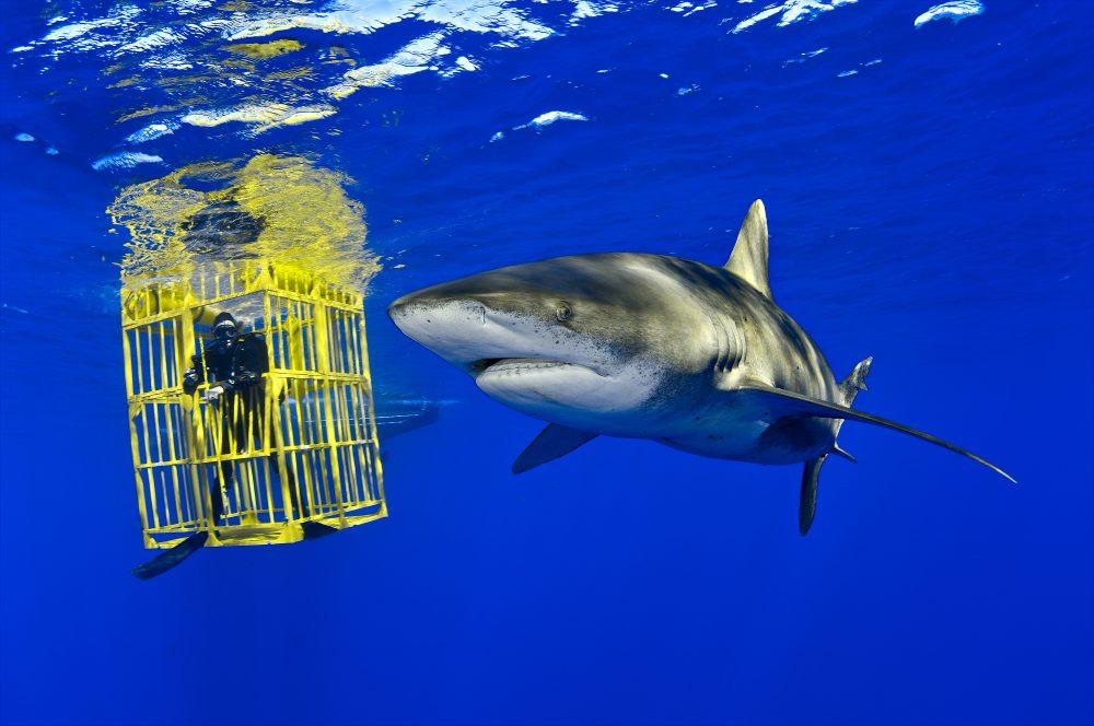 Oceanic Whitetip Shark swims past biologist Wes Pratt inside the shark cage. Bahamas. (Brian Skerry)