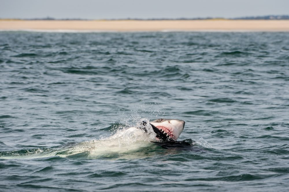 A great white shark, estimated to be between 16-18 feet in length, attacking a seal decoy off Chatham, Massachusetts. This region is a newly forming hub of white shark activity, due to the growing population of gray seals since the creation of the Marine Mammal Protection Act in 1972. (Brian Skerry)