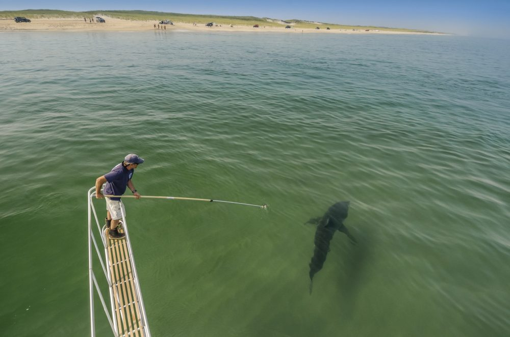 Dr. Greg Skomal conducting research on great white sharks off Chatham, Mass. Dr. Skomal began a population study in 2014 to determine how many individual animals are frequenting this region. To do this, he uses a spotter pilot to find sharks from the air, then from a boat uses a small video camera to obtain footage of the shark underwater. From the video, he and his colleagues can identify the sharks. (Brian Skerry)