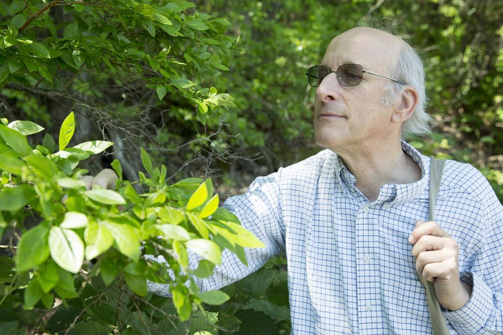 Biologist Richard Primack looks for the same plants Thoreau observed around Walden Pond. He notes the blueberry bushes like this one tend to flower about three or four weeks earlier now than in Thoreau's time. (Robin Lubbock/WBUR)