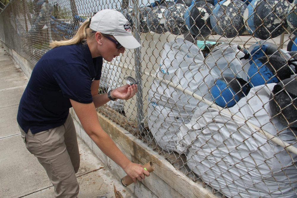 Catherine Pruszynski, a research entomologist with the Florida Keys Mosquito Control District, releases male mosquitoes infected with Wolbachia bacteria Tuesday on Stock Island. (Nancy Klingener/WLRN)